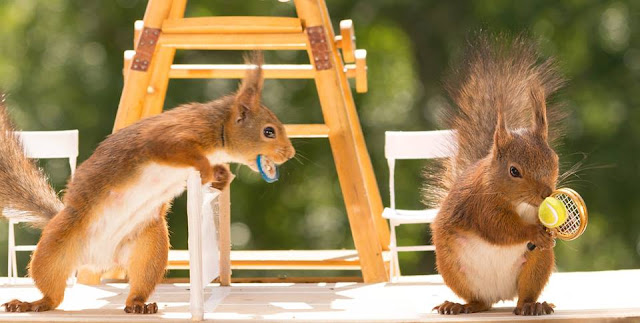 Game, set, squirrel? Rodent pair face off with a mini game of tennis