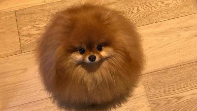 pomeranian perro toy