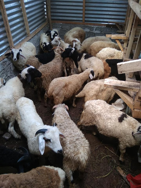 Perencanaan ternak Domba yang baik dan benar