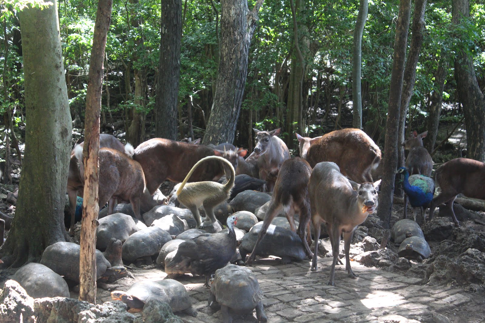 Feeding time at Barbados Wildlife Reserve