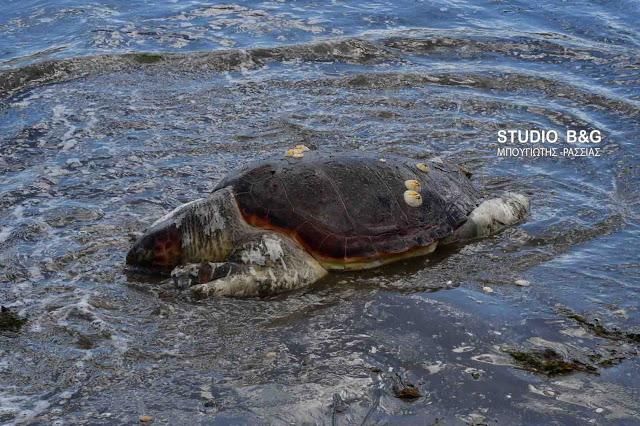 Νεκρές δυο θαλάσσιες χελώνες στο Γύθειο