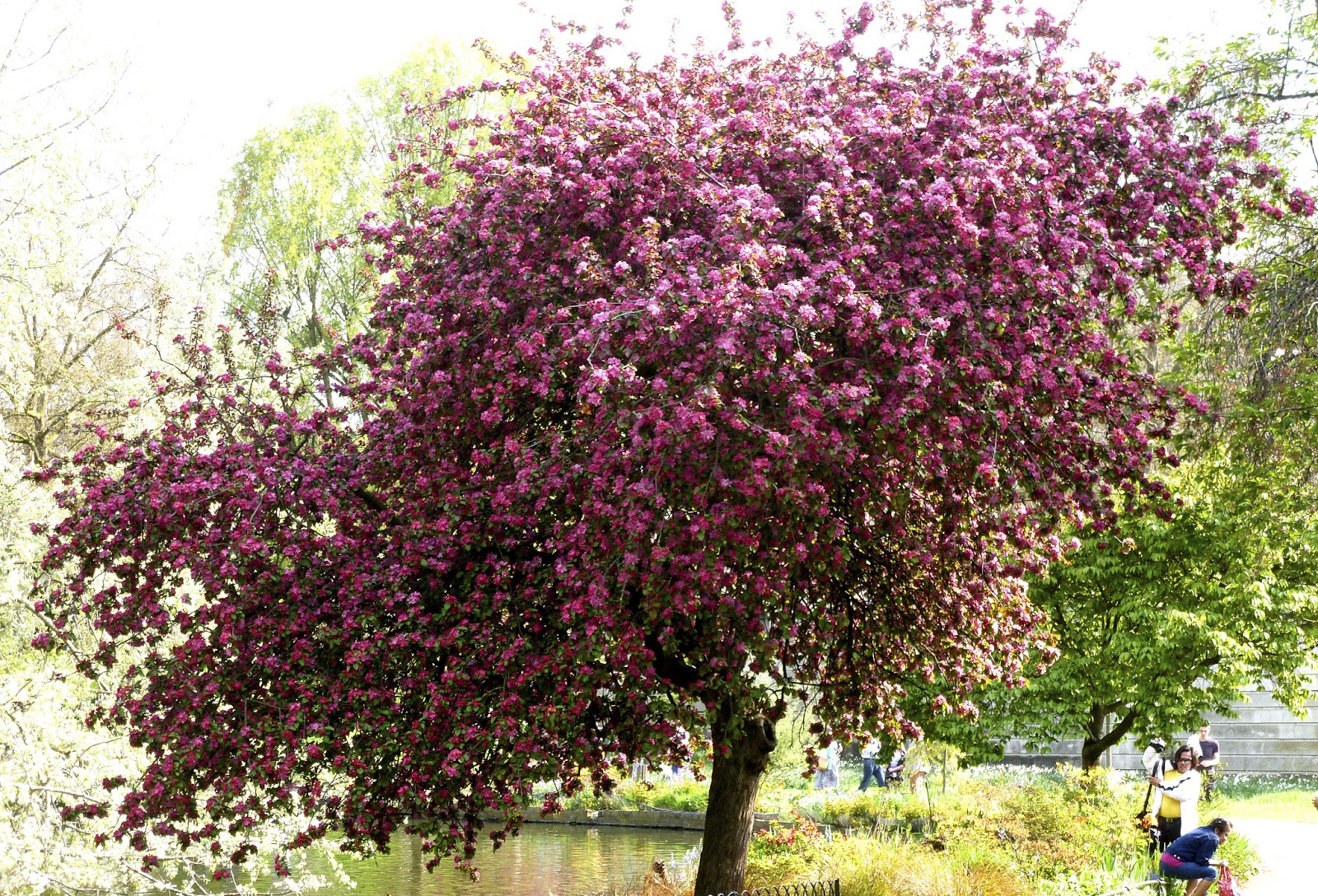 Picture of deep pink blossom tree, St James' Park
