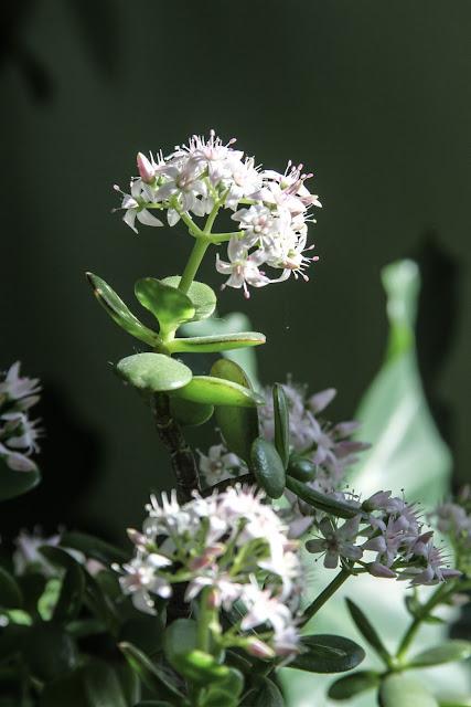 jade plant, succulents, houseplants, flowers, Anne Butera, My Giant Strawberries