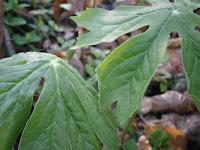 poisonous mayapple