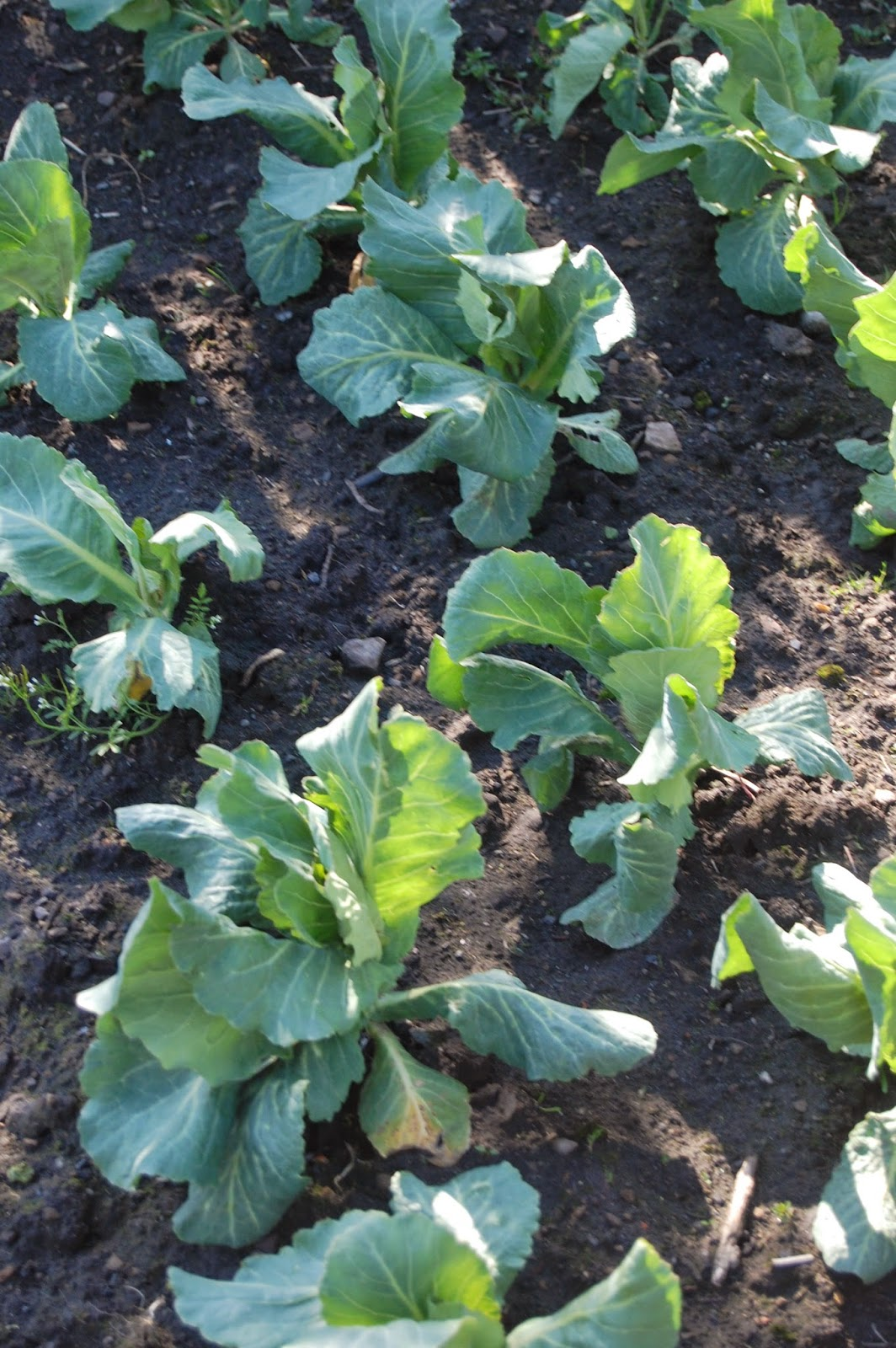 Cabbages became a staple food at Pig Row.