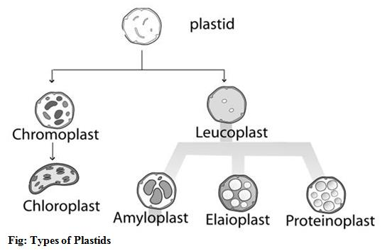 Plant Cell-an introduction ~ Dhiraj's Blog