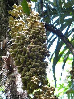 Palmiers et plantes ressemblantes du Panama
