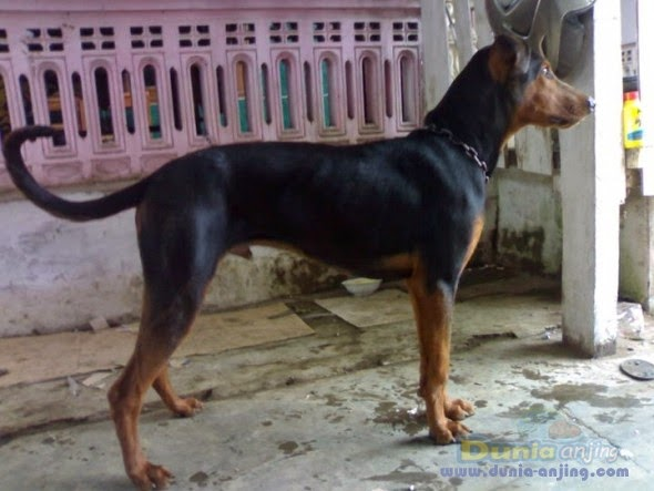How Long Do Dogs Stay Pregnant: Doberman Pinscher Puppies Type