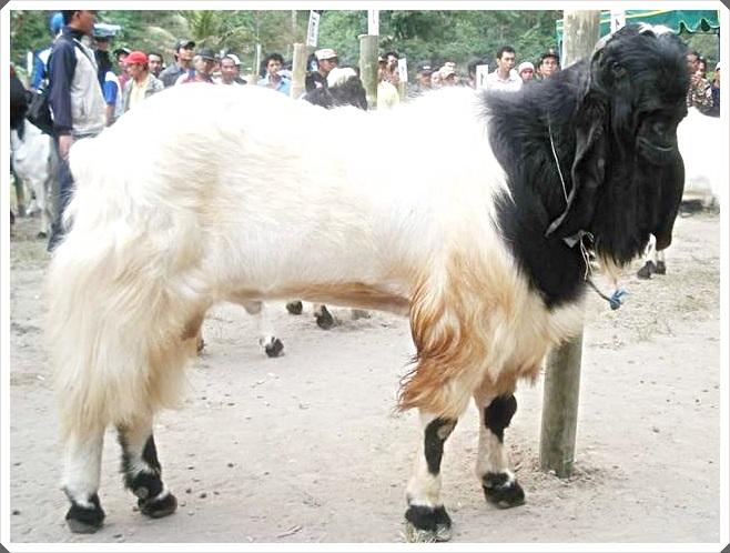 foto 1 gambar kambing etawa hitam putih