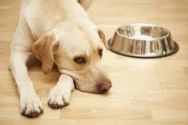 como alimentar um cachorro que não quer comer