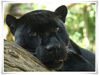 Panther Carnivorous Animal Pictures