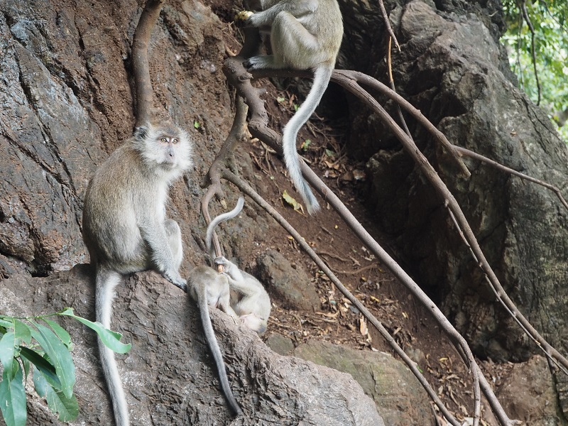 monkeys at tiger cave temple