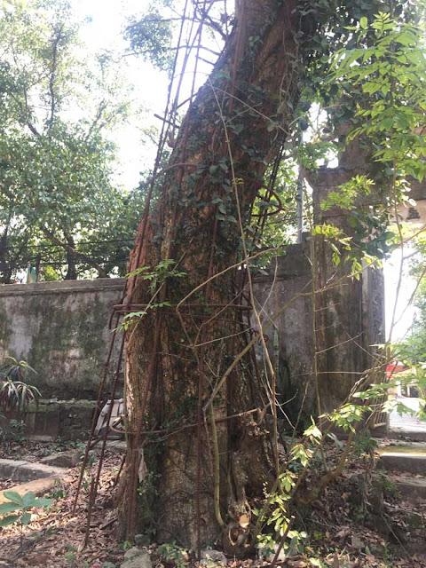 Cây sưa ở chùa Phụ Chính từng được trả giá 100 tỷ đồng
