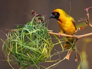 cara merawat burung,kenari tidak gacor,efektif,6 bulan,