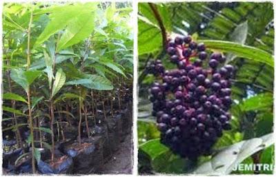 bibit jenitri | budidaya tanaman jenitri | penjual bibit jenitri | khasiat tanaman jenitri