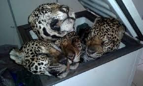 Onça-pintada, o maior felino das Américas. Extinta em diversas regiões e ameaçada em tantas outras.