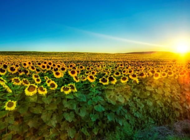 Nokia-Free-Sunflower-Wallpaper