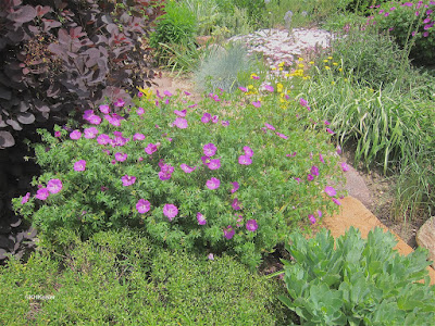 wild geranium, Geranium species