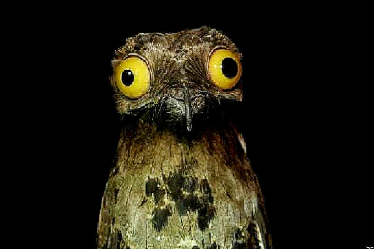 Potoo Nyctibius griseus bird hd wallpapers ›› Page 0
