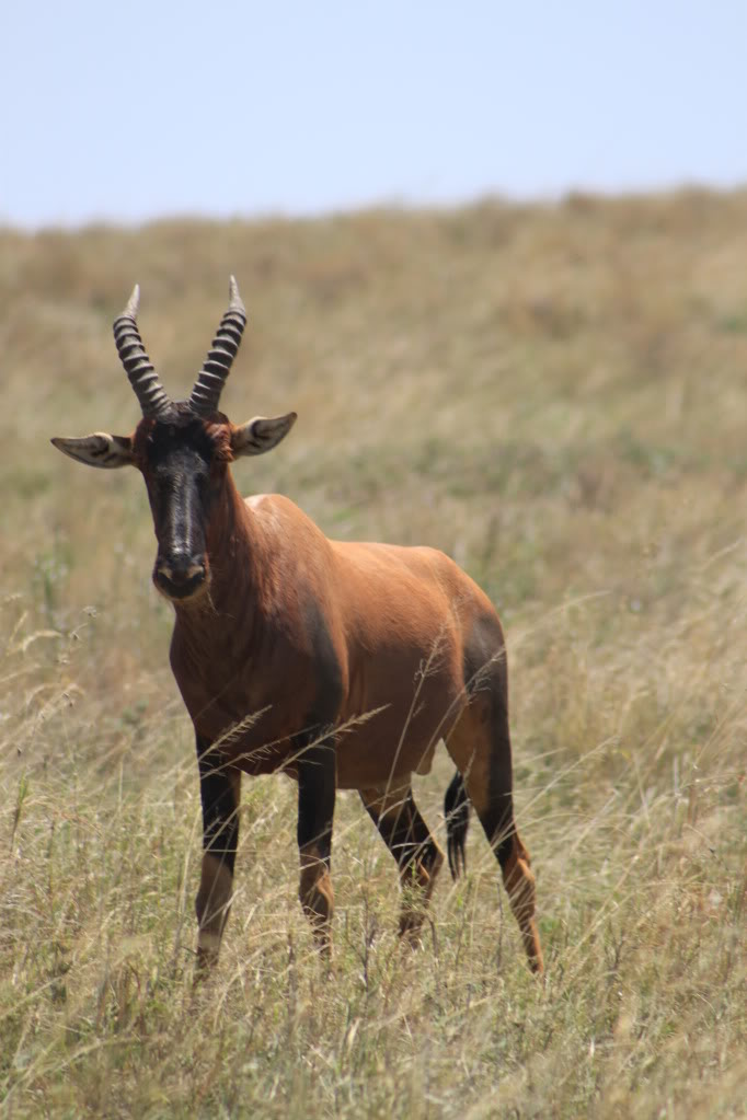 Picture of a Topi antelope.
