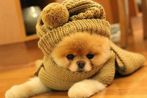 cute chow chow puppy in winter dress