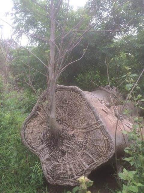 Baobá árvore renascida