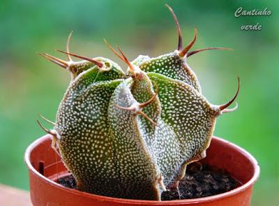 Cacto pedra - Astrophytum ornatum