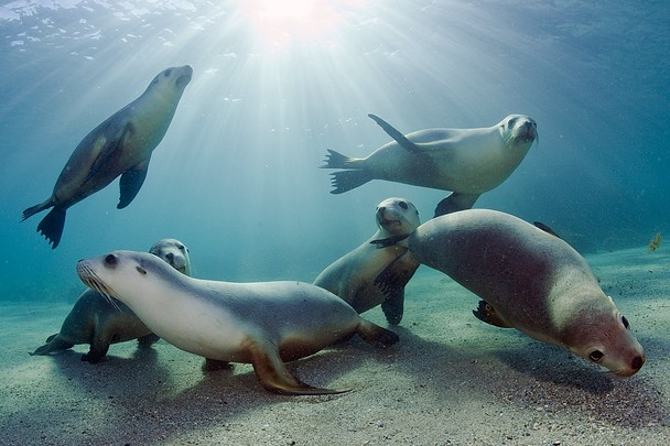 National Geographic Photo Contest 2011 - Australian Sea lions playing in the shallows of Hopkins Island
