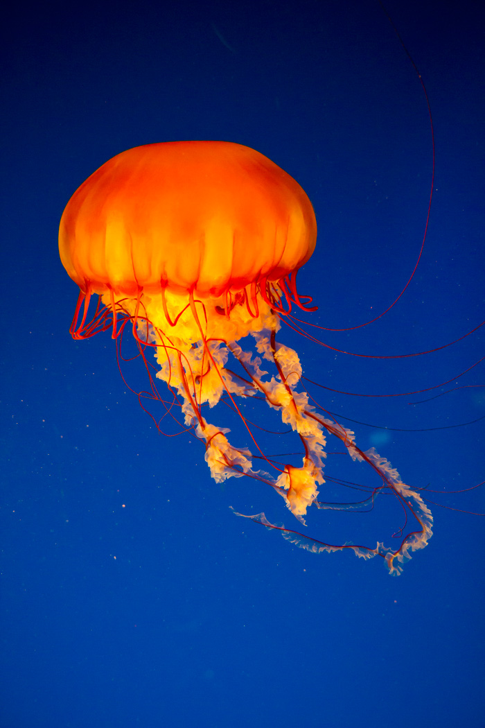 Jelly Fish at the Vancouver Aquarium