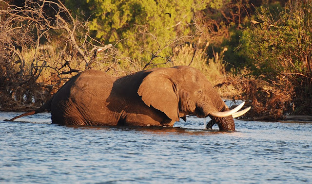 éléphant d'Afrique-Loxodonta africana-Zambèze