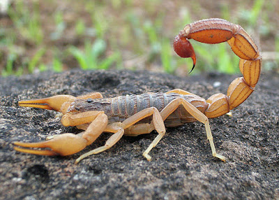 cool Facts About Scorpions