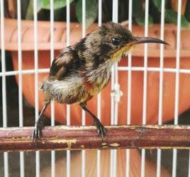Cara Ampuh Dan Akurat Merawat Burung Kolibri Ninja Trotolan Agar Cepat Gacor