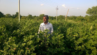 cotton-cropping-increase-17-percent