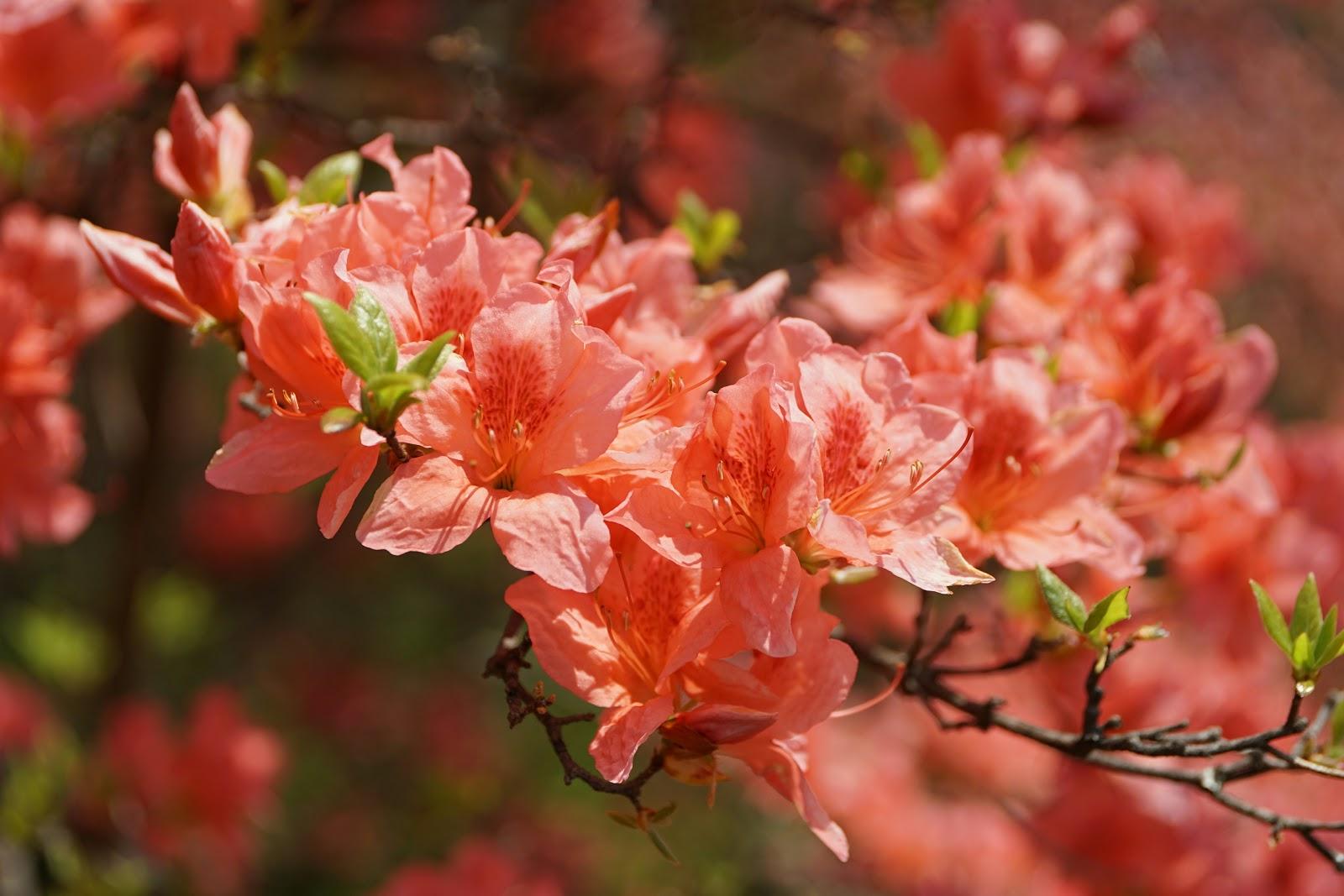 山躑躅の花