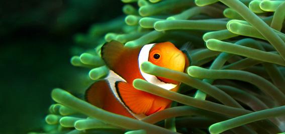 Gambar Ikan Badut - Budidaya Ikan