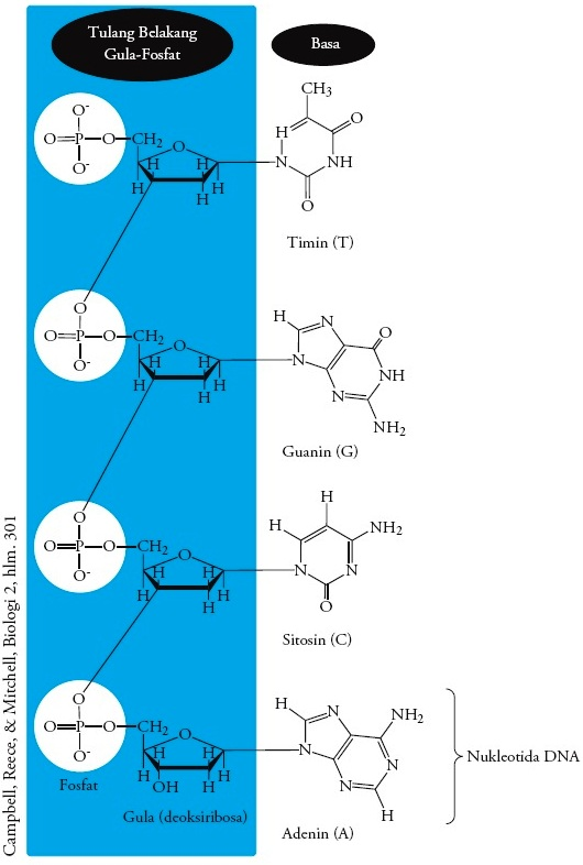Basa Nitrogen Rna : nitrogen, Struktur, Kimia