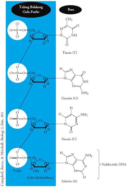 Struktur heliks untai DNA