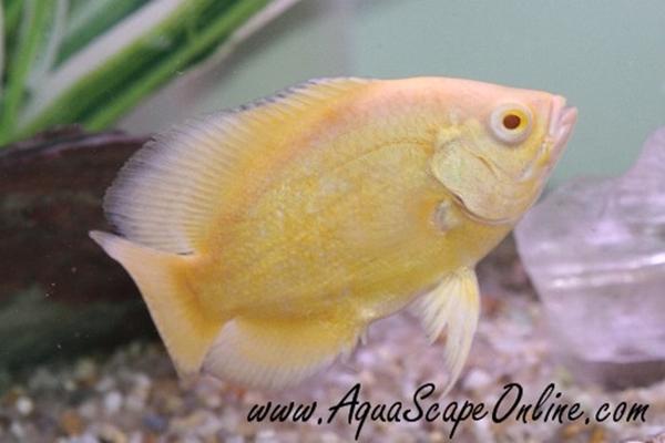 Ikan Oscar Jenis Lemon