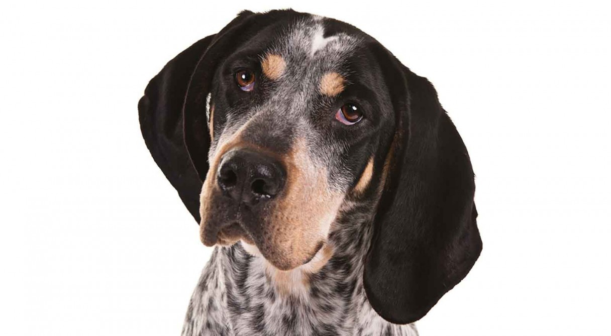 Everything about your Bluetick Coonhound - LUV My dogs