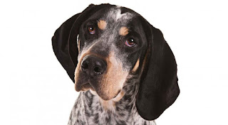 Everything about your Bluetick Coonhound