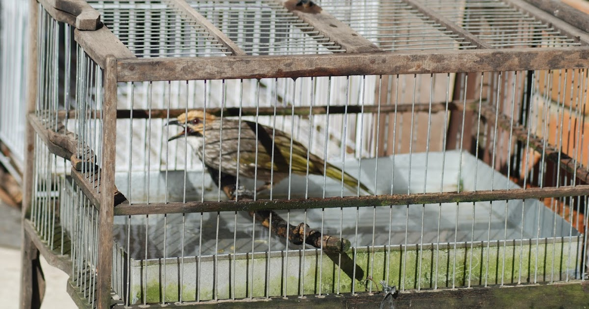 Contoh dan Tips Membuat Kandang Burung Cucak Rowo
