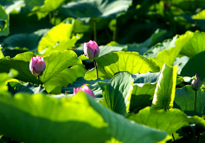 Lotus- a distinctive icon of Vietnamese culture
