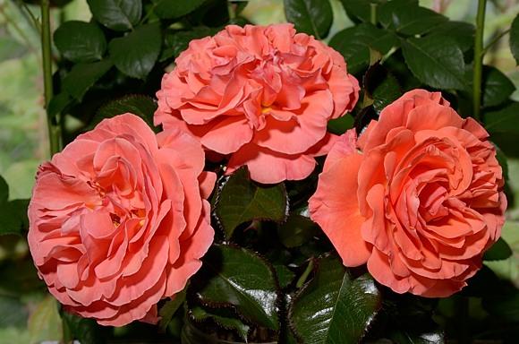 Tatton rose сорт розы фото