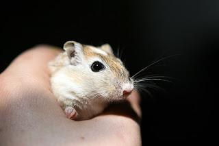 Jenis Hamster yang Jinak dan Tidak Menggigit