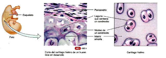 Cartílago hialino de un hueso