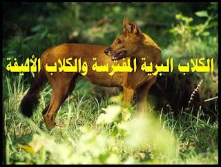 الكلاب البرية المفترسة, الكلاب البرية الافريقية, الكلاب البرية والضباع, الكلاب البرية والاسود, الكلاب البرية ضد الاسود, الكلاب البرية الهندية, الكلاب البرية الاسترالية