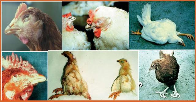 Poultry-Farming-Diseases