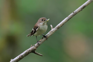 Female Pied flycatcher (Credit: Tom Wallis) Click to Enlarge.