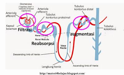 Skema dan Proses Pembentukan Urine Beserta Gambarnya Skema dan Proses Pembentukan Urine Beserta Gambarnya