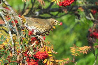 Song thrush in rowan tree